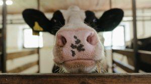 dairy milking